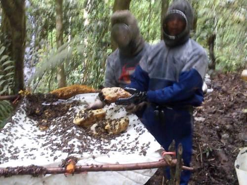 panen madu hutan riau 2